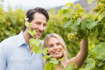 Young happy couple looking at grapes in the grape fields
