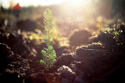 Planted pine tree