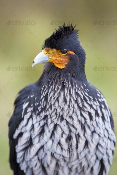 Curiquinge andean bird in Cotopaxi National Park in Ecuador