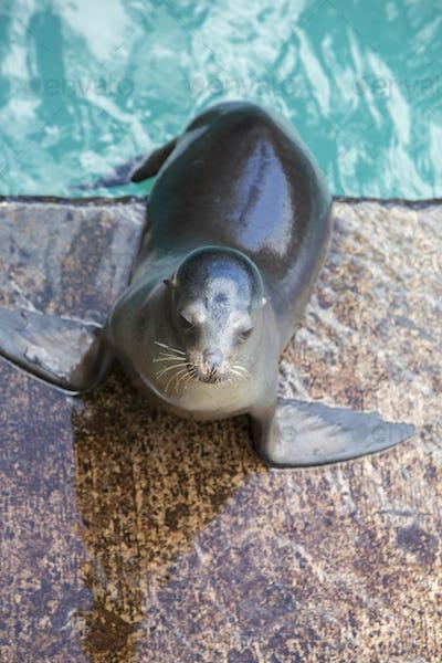 Brown sea lion in the Galapagos Islands, Ecuador
