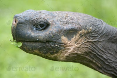 Giant Galapagos land turtle