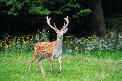Whitetail Deer standing in summer wood
