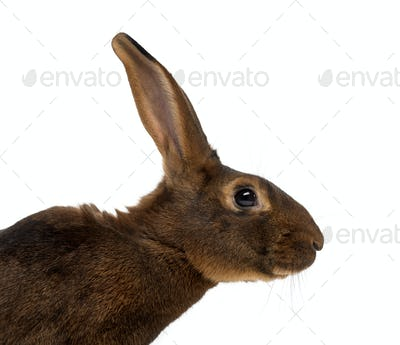 Belgian Hare in front of a white background