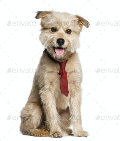 Pyrenean Shepherd wearing a tie (3 years old)