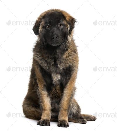 Leonberger puppy (8 months old)