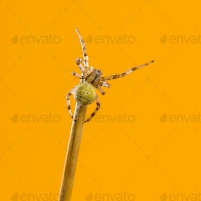 European garden spider, Araneus diadematus, on a blade of grass in front of an orange background