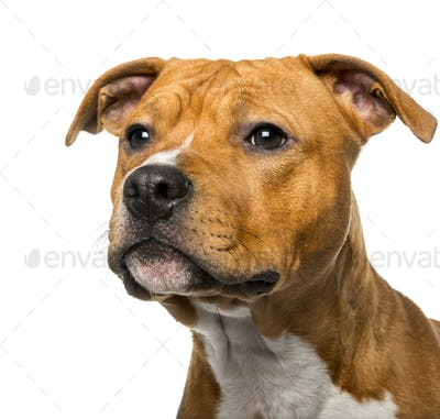Close-up of an American Staffordshire Terrier (8 months old)