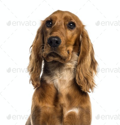 Headshot of a English Cocker Spaniel (7 months old)