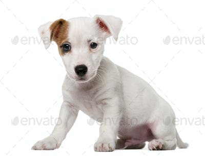 Jack Russell Terrier puppy (2 months old) in front of a white background