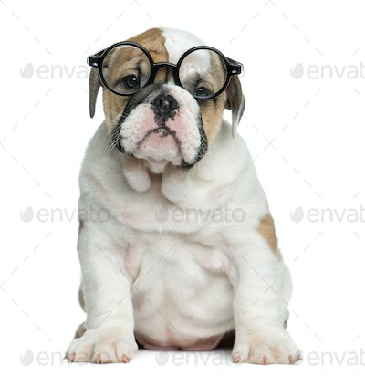 English bulldog puppy wearing glasses in front of white background