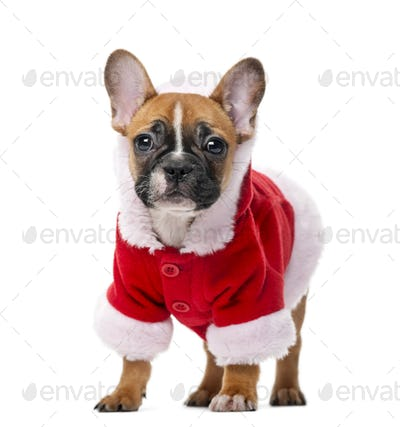 French bulldog puppy wearing a Santa coat in front of a white background
