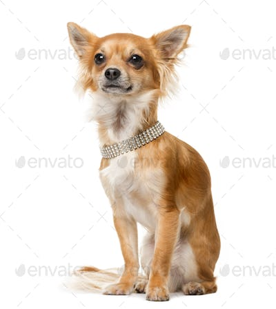 Chihuahua (2 years old) in front of a white background