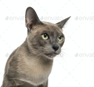 Tonkinese (18 months old)