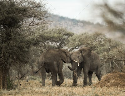 Young elephants playing, Serengeti, Tanzania, Africa