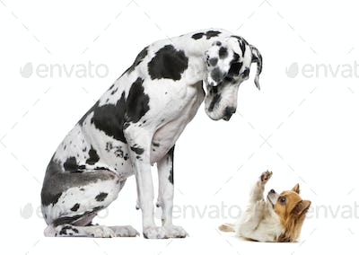 Great Dane sitting and looking at a Chihuahua in front of a white background