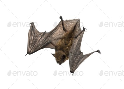 Old common bent-wing bat flying