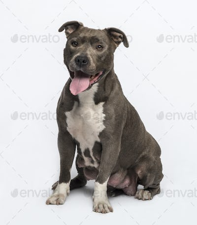 American Staffordshire terrier sitting