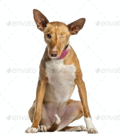 one-eyed Ibizan Hound (2 years old)