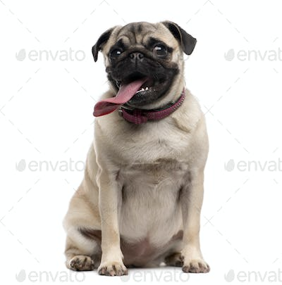 Pug (9 months old) with a disproportionate tongue sitting in front of a white background