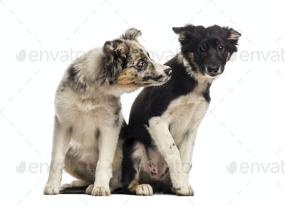 Two Border collies
