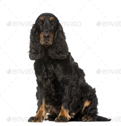 English Cocker Spaniel (4 years old)
