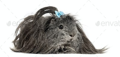 Hairy Guinea pig lying in front of a white background