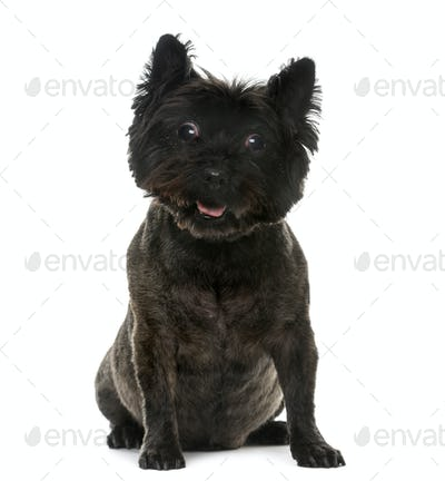 Old blind Cairn Terrier (12 years old) in front of a white background
