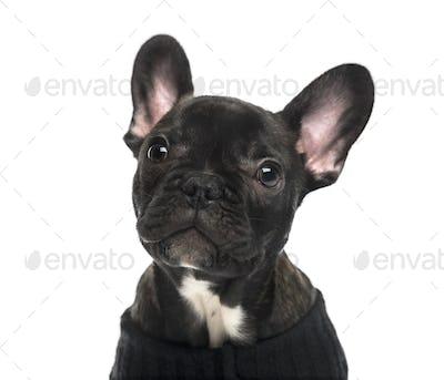 Close-up of a French Bulldog