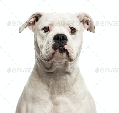 Close-up of an American Bulldog in front of a white background