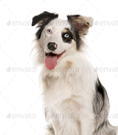 Close-up of a Border Collie with heterochromia in front of a white background