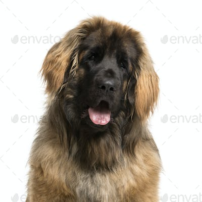 Close-up of a Leonberger in front of a white background