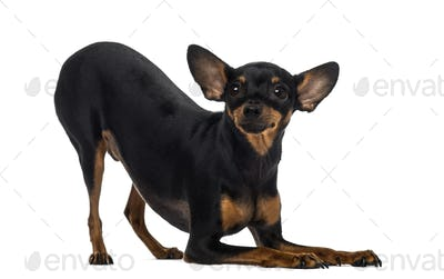 Chihuahua (18 months old)