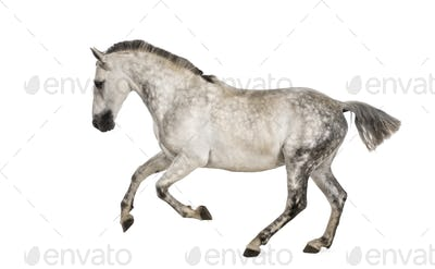 Andalusian horse galloping