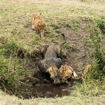 Dirty lioness and cubs drinking, Serengeti, Tanzania, Africa