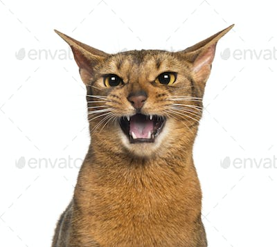 Abyssinian meowing (2 years old), isolated on white