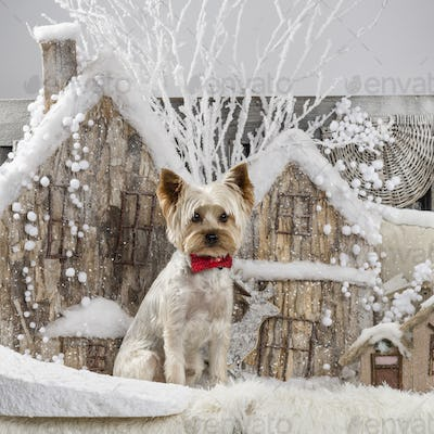 Yorkshire terrier in front of a Christmas scenery