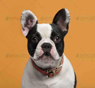 Close-up of a French Bulldog (1 year old) in front of an orange background