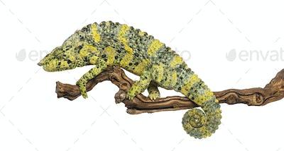 Meller's Chameleon on a branch - Trioceros melleri - isolated on white