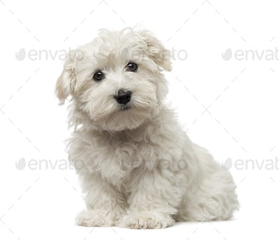 Maltese puppy (3 months old)
