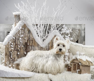 West Highland White Terrier in front of a Christmas scenery