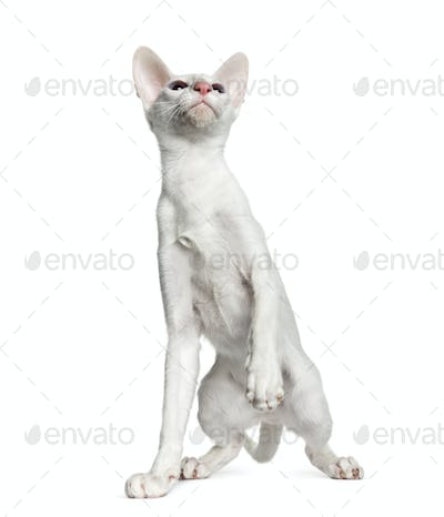 Oriental Shorthair, isolated on white  (6 months old)