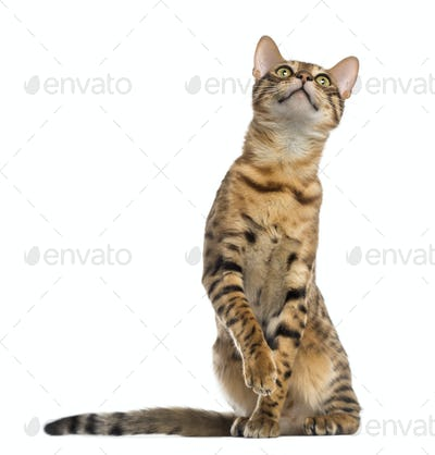 Bengal (11 months old) sitting, pawing and looking up