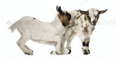 Two Young domestic goats, kids, isolated on white