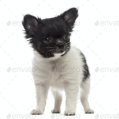 Chihuahua puppy (2 months old)