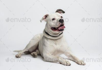 American Bulldog (20 months old)