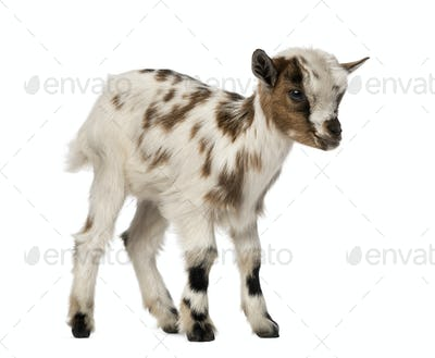 Young domestic goat, kid, isolated on white