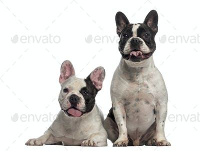 French Bulldog sitting together