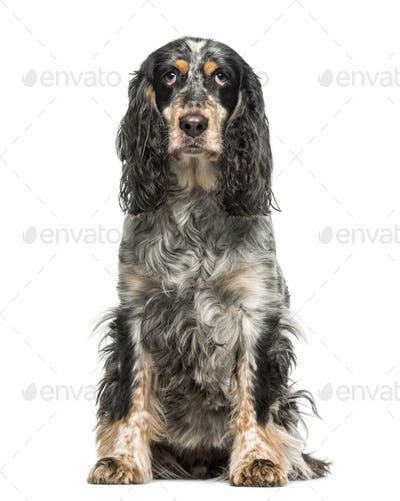 English Springer Spaniel (7 years old)