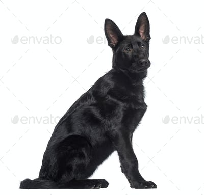 side view of a German Shepherd Dog puppy sitting (4 months old)