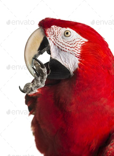 Close-up of a Red-and-green macaw cleaning itself, isolated on white